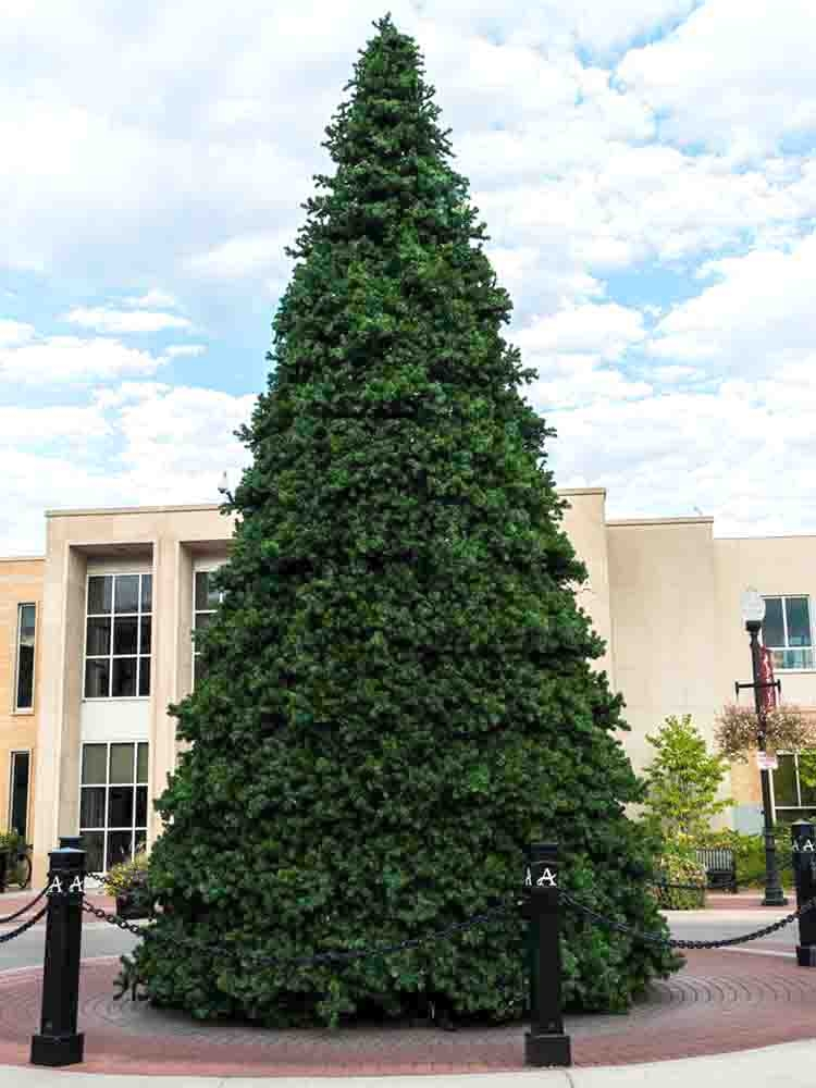 80 To 60 Foot Unlit Commercial Christmas Trees